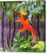 One Lone Flower Remains On The Cape Honeysuckle Acrylic Print