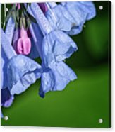 One Pink Bell Acrylic Print