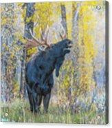 One Proud Bull Moose Acrylic Print