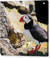 One Puffin In Iceland Acrylic Print