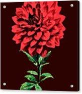 One Red Dahlia Acrylic Print
