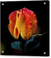 One Rose Acrylic Print