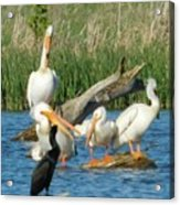 One Sassy Pelican And Friends, West Central Minnesota Acrylic Print