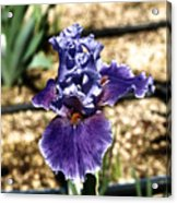 One Sole Iris In Bloom Acrylic Print