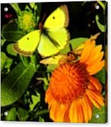One Sulpher In Flight Acrylic Print