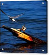 One Tern Flight Acrylic Print by Amanda Struz
