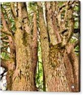 One Tree Six Trunks Acrylic Print