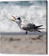 One Upset Royal Tern Acrylic Print