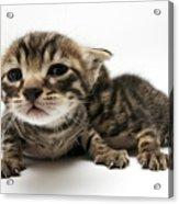 One Week Old Kittens Acrylic Print