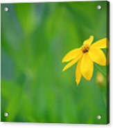 One Yellow Coreopsis Flower Acrylic Print