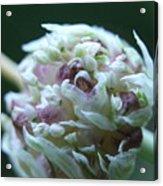Onion Blossom Acrylic Print