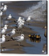 Ducklings In Trouble - Oops Not Into Diversity Acrylic Print