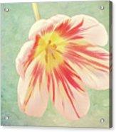 Open Bi-coloured Tulip Acrylic Print