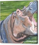 Open Mouthed Hippo On Wood Acrylic Print