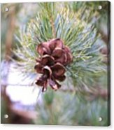 Open Pine Cone Acrylic Print