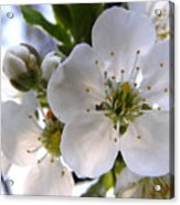 Opening Act -  Cherry Blossoms Acrylic Print