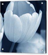 Opening Tulip Flower Blue Monochrome Acrylic Print