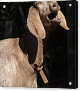Operatic Goat Acrylic Print