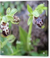 Ophrys Kotschyi Wild Orchid Plant. Acrylic Print