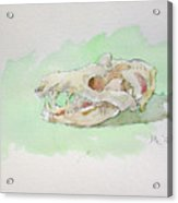 Opossum Skull Acrylic Print