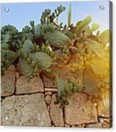 Opuntia Cactus In The Sunset Acrylic Print
