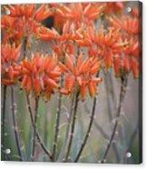 Orange Aloe  Acrylic Print