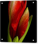 Orange Amaryllis Bloom Acrylic Print