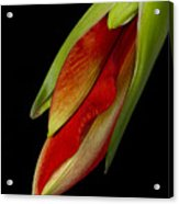 Orange Amaryllis Hippeastrum In The Beginning 2-21-10 Acrylic Print