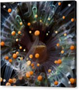 Orange And Black Anemone, Komodo Acrylic Print