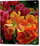 Orange And Red Tulip Lilies In Various Stages Of Bloom Acrylic Print
