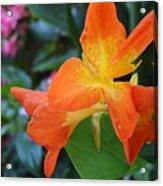 Orange And Yellow Canna Lily 2  Acrylic Print