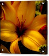 Orange And Yellow Lily Acrylic Print