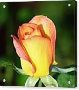 Orange And Yellow Rose Acrylic Print