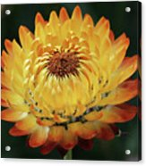 Orange And Yellow Strawflower Acrylic Print