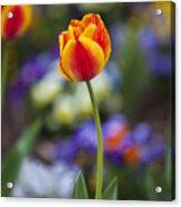 Orange And Yellow Tulip Acrylic Print