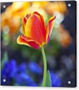 Orange And Yellow Tulip II Acrylic Print