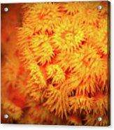 Orange Anemones Acrylic Print