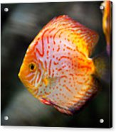 Orange Aquarium Fish In Zoo Acrylic Print