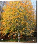Orange Autumn Tree Acrylic Print