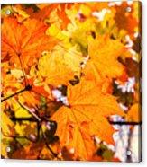 Fall Of Orange Leaves Acrylic Print