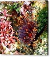 Orange Ball Corallimorph Anemone Acrylic Print