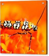 Orange Beetle On Orange Flower Acrylic Print