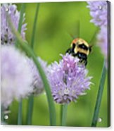 Orange-belted Bumblebee On Chive Blossoms Acrylic Print