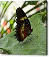 Orange Black Butterfly Acrylic Print