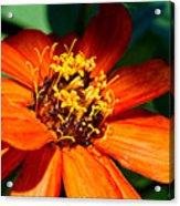 Orange Bloom Acrylic Print