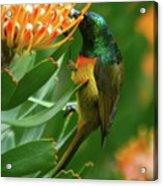 Orange-breasted Sunbird Feeding On Protea Blossom Acrylic Print