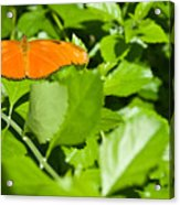 Orange Butterfly On Foliage Acrylic Print