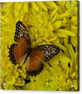 Orange Butterfly On Yellow Mums Acrylic Print
