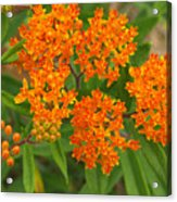 Orange Butterfly Weed From Above Acrylic Print