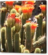 Orange Cactus Blooms Acrylic Print